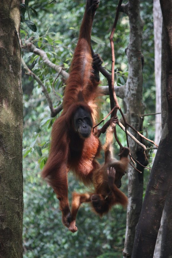 Bukit Lawang, orangutans by Arian Zwegers is licensed under CC BY 2.0